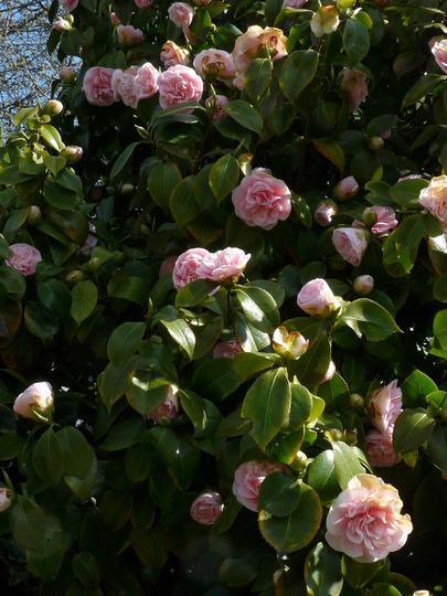 Mum's Camellia 2 (Camellia japonica (Camellia))