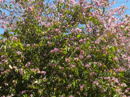 Bauhinia variegata - Variegated Orchid Tree (Bauhinia variegata - Variegated Orchid Tree)