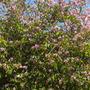 Bauhinia variegata - Variegated Orchid Tree