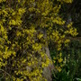 Weeping Forsythia (Forsythia - weeping)