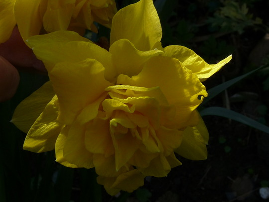 Double Daffo-dilly (Narcissus)