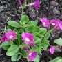 Primula_boothman_s_variety_plant
