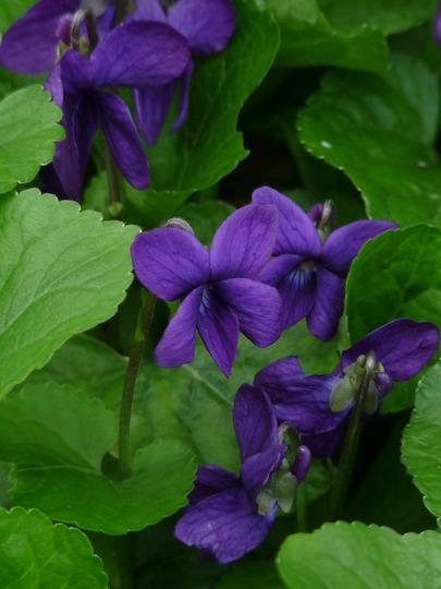 Dark Dog-toothed violet (Dog-toothed Violet)