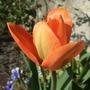 Tulipa_orange_emperor_