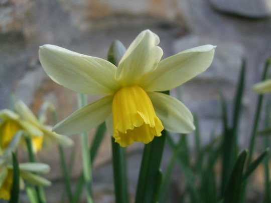 Narcissus cyclamineus 'Jack Snipe' (Narcissus cyclamineus (Cyclamen-flowered daffodil))