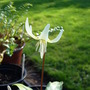 Erythronium_white_beauty_8.4.10