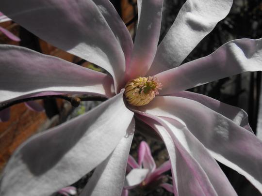 Magnolia Stellata........