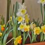 Daffodils (Daffodil)