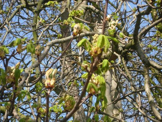 Chestnuts Buds Bursting (Aesculus hippocastanum)
