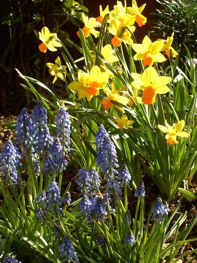 08.04.10 (Narcissus 'Jetfire')
