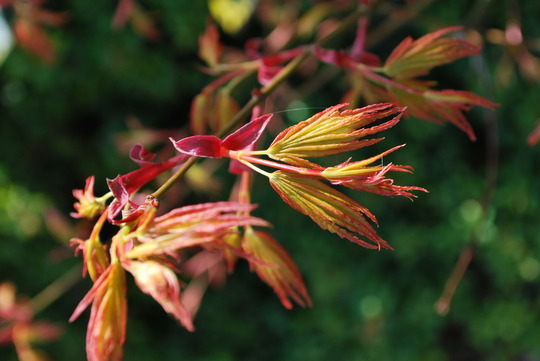 Acer just opening.....Orange Dream. (Acer palmatum (Japanese maple) Orange Dream)