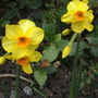 Narcissus Hoopoe (Narcissi Hoopoe)