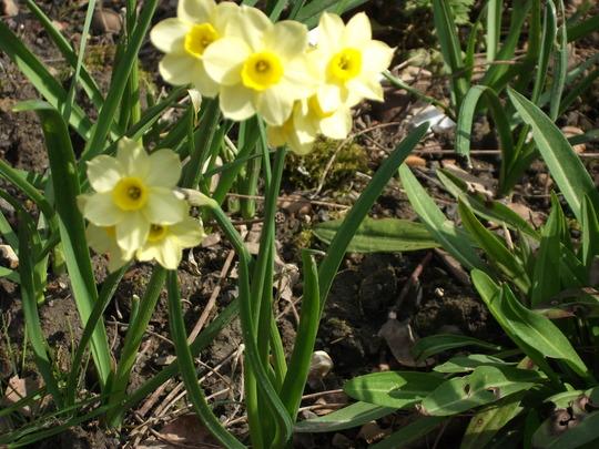 Narcissus Minnow (Narcissus Minnow)