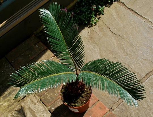 Cycad (Cycas revoluta (Japanese Fern Palm))
