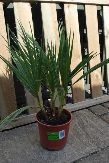 A bargain........£ 4.00 !!!! Washingtonia Robusta.... (Washingtonia robusta (Mexican Fan Palm))