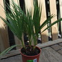 A bargain........£ 4.00 !!!! Washingtonia Robusta.... (Washingtonia robusta (Mexican Fan Palm))