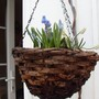 Muscari hanging basket