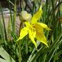 Tulip Sylvestris (Tulipa sylvestris (Wild Tulip))