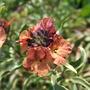 Erysimum 'Purple Peach' (Erysimum linifolium)