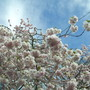 blossom and blue skies