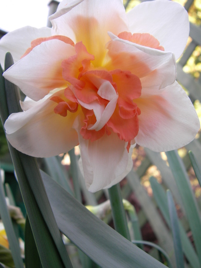 pink double-bloom daff
