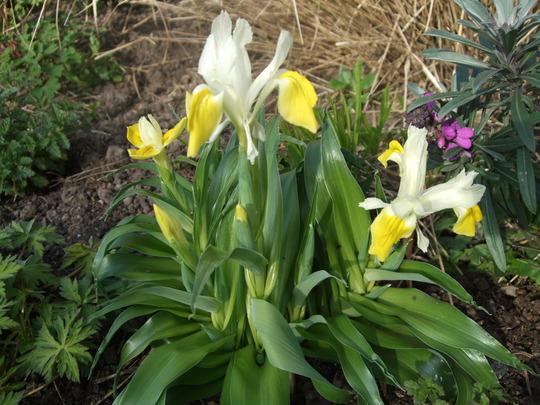 Iris bucharica plant. (Iris bucharica (Iris))