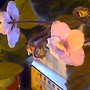 african violet spring (Saintpaulia ionantha)