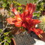 Ruttya fruticosa 'Orange Dragon' - Rabbit ears 'Orange Dragon' (Holmskioldia species chinese Hat plant)