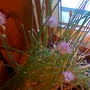 window chives (Allium schoenoprasum (Chives))