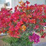 Colored Bougainvillea