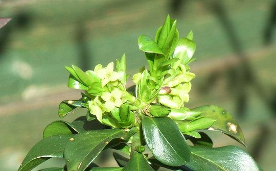 Daphne pontica hybrid - 2010 (Daphne pontica hybrid)