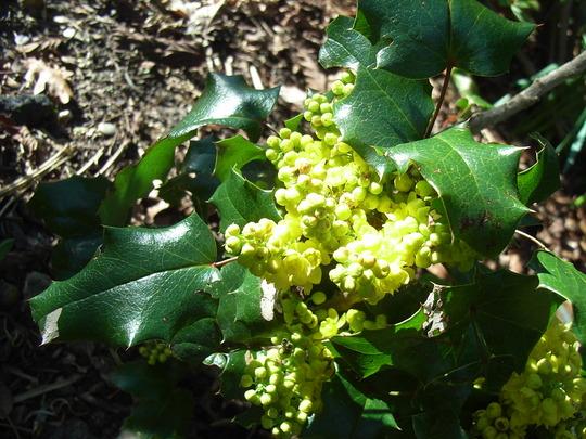Mahonia aquifolium 'Orange Flame' - 2010 (Mahonia aquifolium 'Orange Flame')