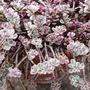 Sedum Spurium Varigatum 'Tricolor' (sedum spurium)