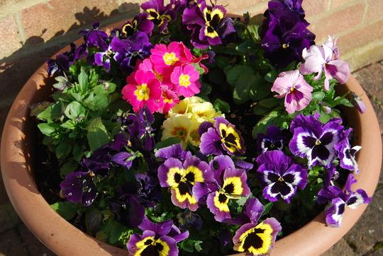 Joy's Pansy and Primula Tub