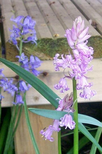 29_4_6.jpg (Hyacinthoides non-scripta)
