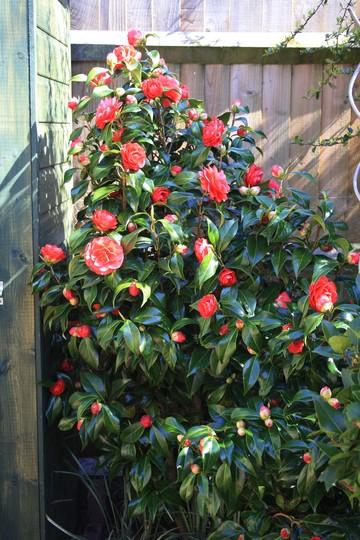 Bursting out all over (Camellia japonica (Camellia))