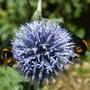 Echinops ritro with bees (Echinops ritro (Globe thistle))