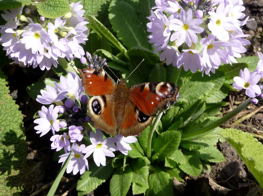Peacock butterfly on Drumstick Primula.