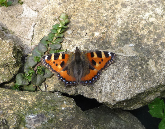 Tortoiseshell butterfly by pond.