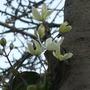 Clematis armandii (Clematis armandii)