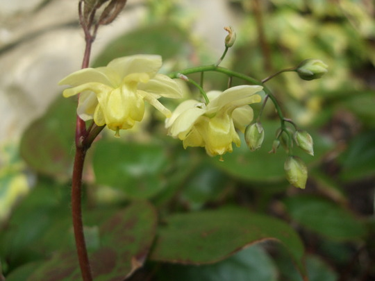 Epimedium grandiflorum (Epimedium grandiflorum)