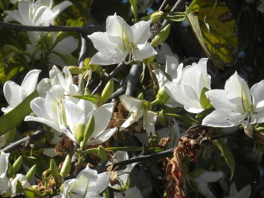 Bauhinia variegata 'Candida' - White Orchid Tree (Bauhinia variegata 'Candida - White Orchid Tree)
