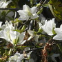 Bauhinia variegata 'Candida' - White Orchid Tree (Bauhinia variegata 'Candida - White Orchid Tree)