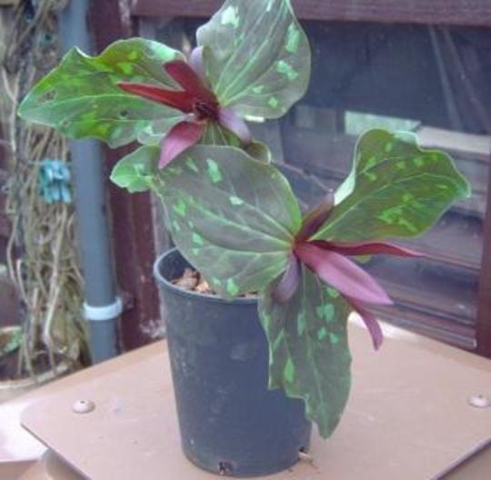 Trillium chloropetalum giganteum (Trillium chloropetalum giganteum)