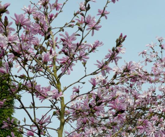 Magnolia Leonard Messell