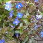 veronica (Veronica pedunculata)