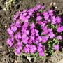 Aubrieta_purple_cascade_