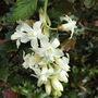 Ribes sanguineum '  White Icicle '  (Sanguineum  White Icicle)