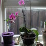 MY WIFES PINK ORCHID