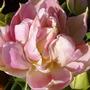 PEACH BLOSSOM - Tulip